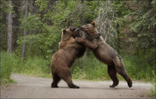 Brown-bears-fighting9
