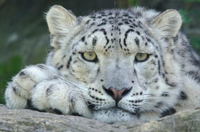 Snow-Leopard-eye-contact