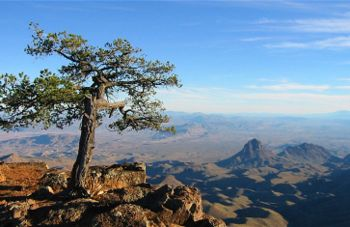 350px-Big_Bend_National_Tree