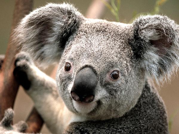 a.baa-koala-to