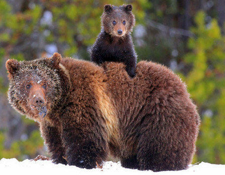 Grizzly Bear Ride
