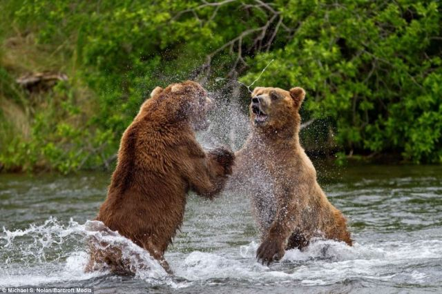 grizzly-bear-fight1