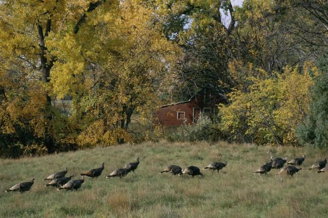 084_Michael_Forsberg_wild_turkeys_1024x1024 (1)
