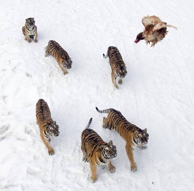 siberian-tigers-and-chicken