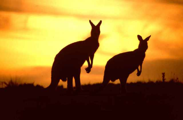 sunset-and-Kangaroos-kangaroos-11997124-1200-789