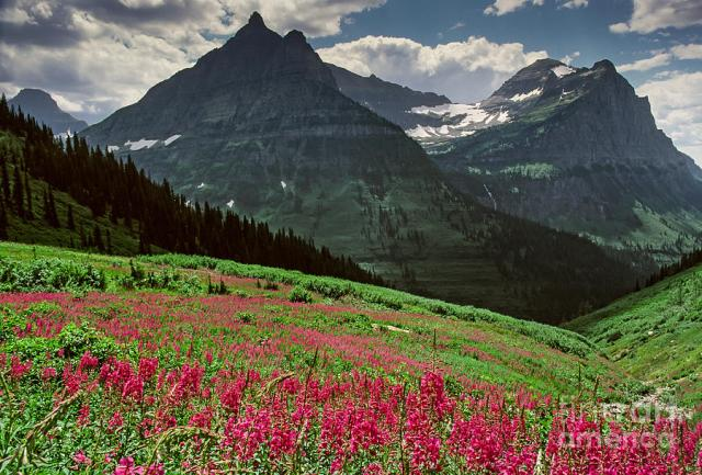 fireweed-vista-glacier-national-park-maida-candler