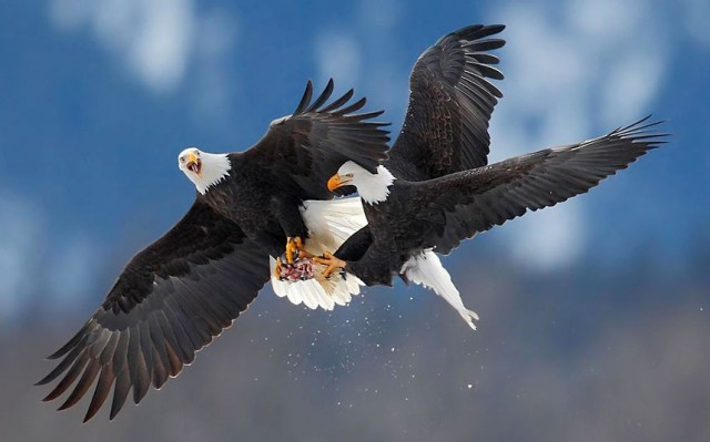 eagles-fighting_2430971k