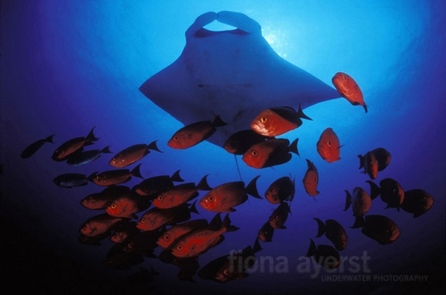 manta-ray-research03large
