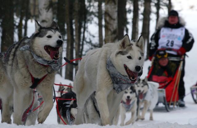 Karen_Ramsteads_team_of_huskies