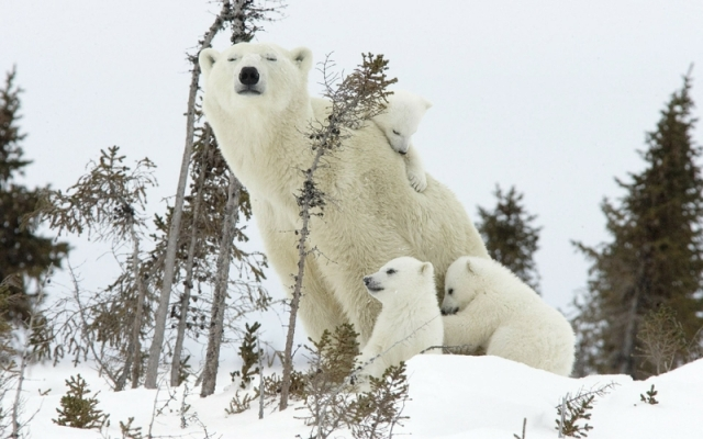 snow animals polar bears baby animals 1920x1200 wallpaper_www.wallpaperhi.com_93