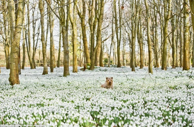 Berkshire-dog-with-snowdrops