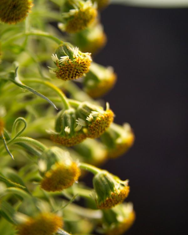 mauna-loa-silversword-flowers-2-argyroxiphium-kauense